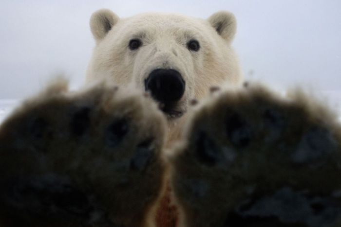 polar_bear_05