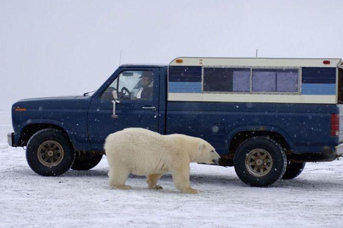 polar_bear_08