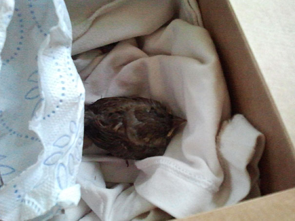 found-blind-baby-sparrow-below-my-balcony-1