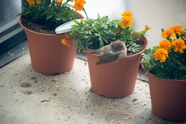 found-blind-baby-sparrow-below-my-balcony-11