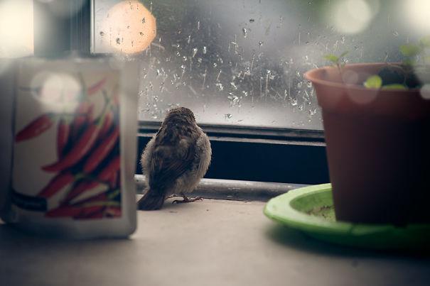 found-blind-baby-sparrow-below-my-balcony-2