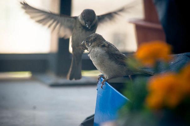 found-blind-baby-sparrow-below-my-balcony-4