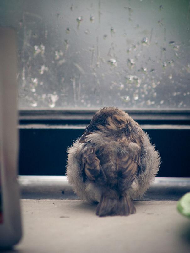 found-blind-baby-sparrow-below-my-balcony-5