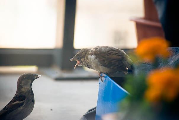 found-blind-baby-sparrow-below-my-balcony-8