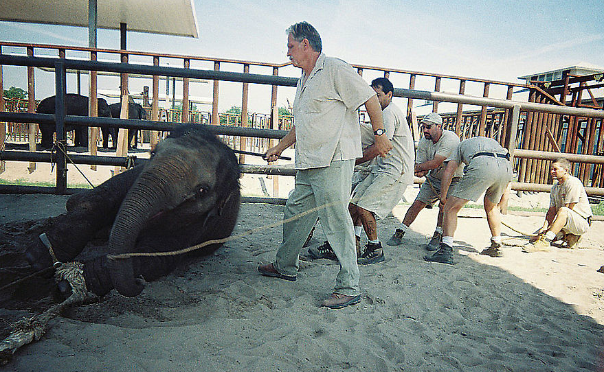 Baby elephant is trained to lay down. Source : PETA