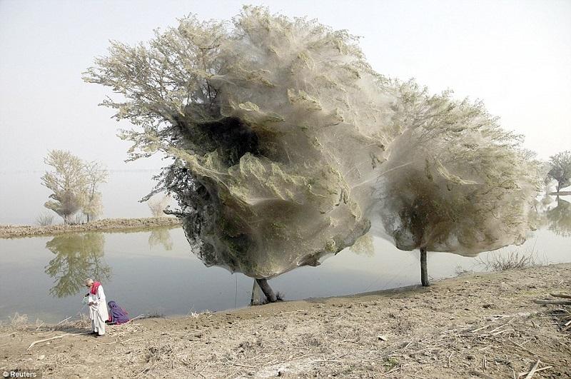 cocooned-trees-pakistan