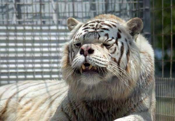 kenny-tiger-with-down-syndrome-1