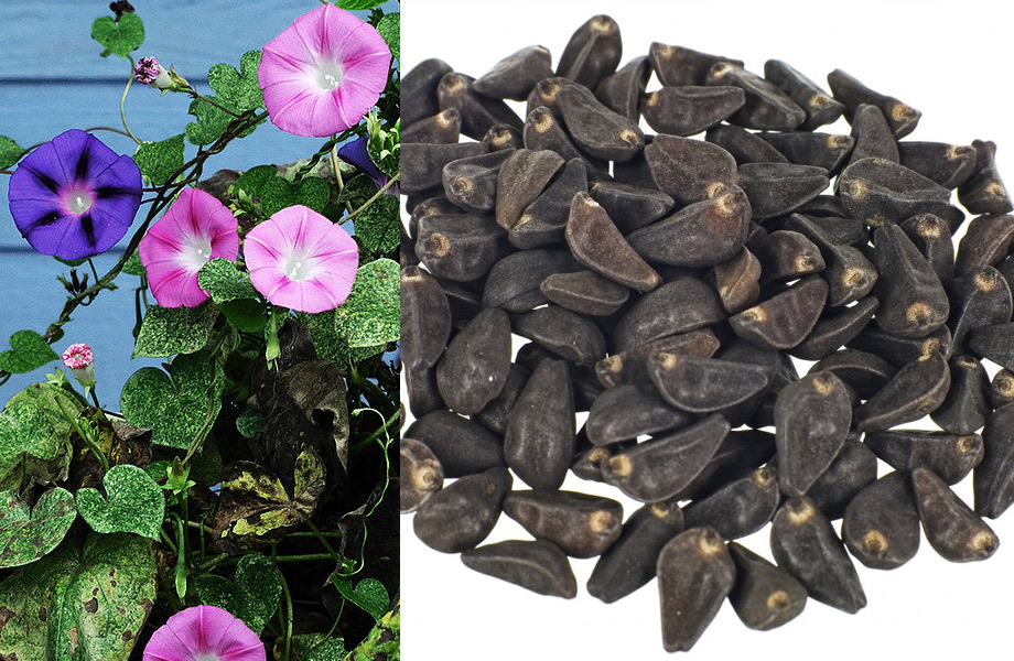 Morning Glory Seeds