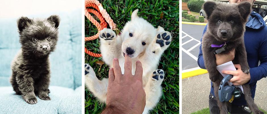 Cute Puppies That Look Like Teddy Bears Memolition