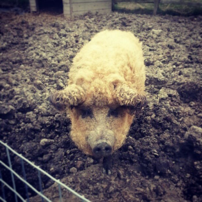 mangalitsa-furry-pigs-hairy-sheep-36__700