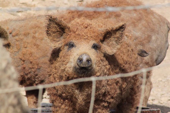 mangalitsa-furry-pigs-hairy-sheep-47__700