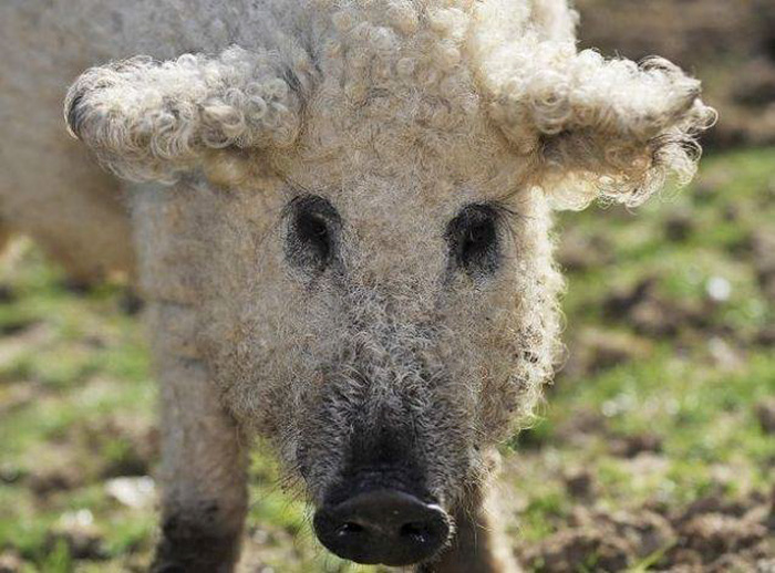 mangalitsa-furry-pigs-hairy-sheep__700