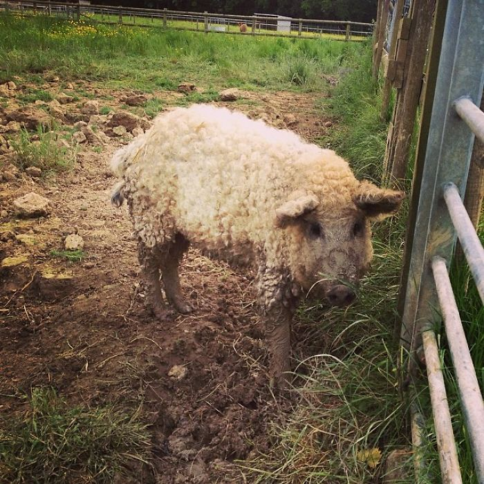 mangalitsa-furry-pigs-hairy-sheep-30__700