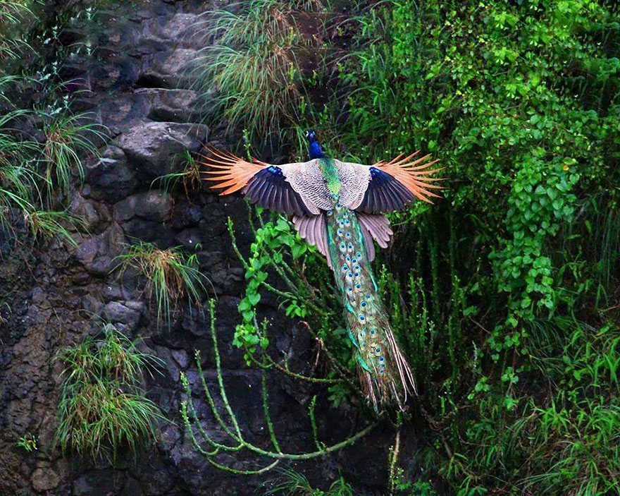 flying-peacock-1