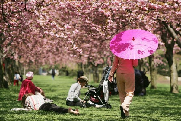 umbrella-pink-cherry-blossoms