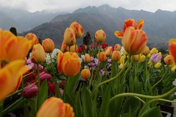 tulip-mountain