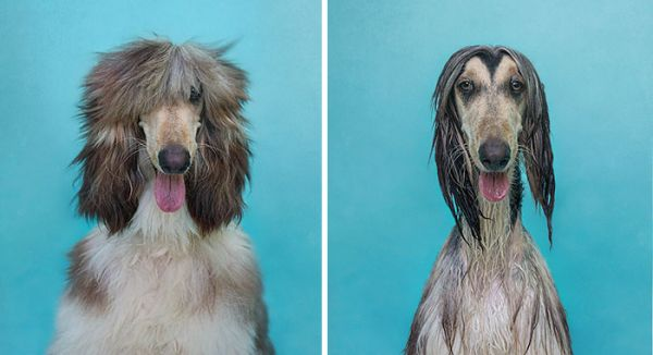 funny-wet-pets-before-after-bath-dogs-cats-4-57288b1988330__700