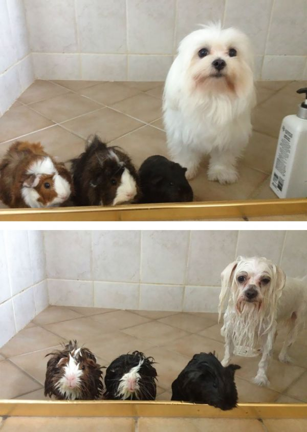 funny-wet-pets-before-after-bath-dogs-cats-5-57288b1b293de__700