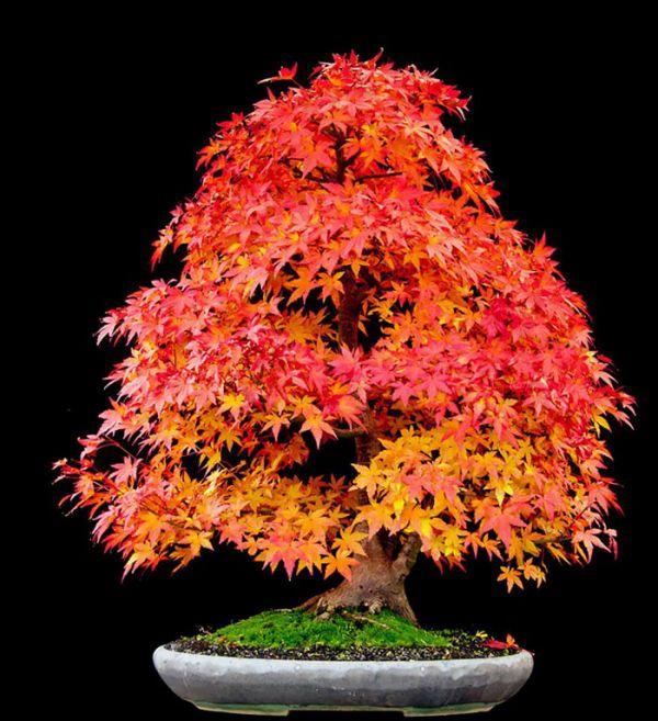 amazing-bonsai-trees-24-5710f78e7b4e5__700