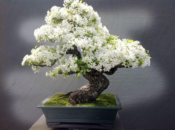 amazing-bonsai-trees-5-1-5710e79582acc__700