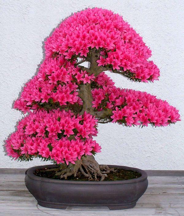 amazing-bonsai-trees-1-5710e77e33ce6__700