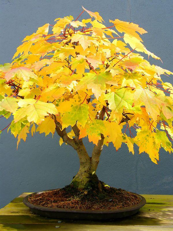 amazing-bonsai-trees-18-5710f1d3077af__700