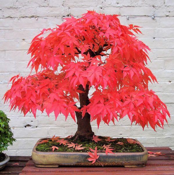 amazing-bonsai-trees-4-5710e792c2477__700