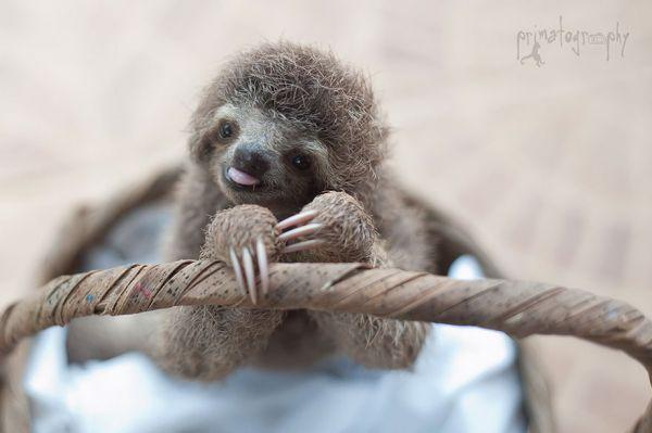 cute-baby-sloth-institute-costa-rica-sam-trull-5