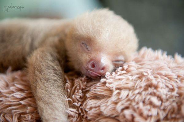 cute-baby-sloth-institute-costa-rica-sam-trull-6