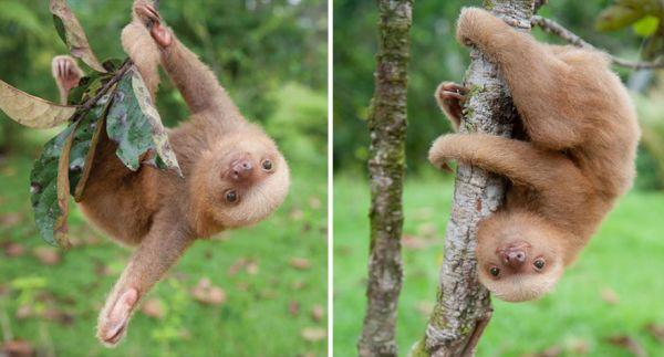 cute-baby-sloth-institute-costa-rica-sam-trull-31