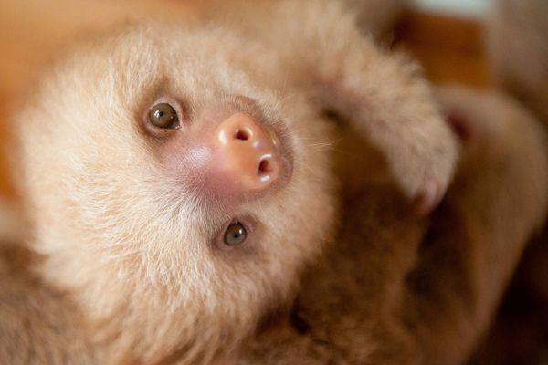 cute-baby-sloth-institute-costa-rica-sam-trull-24
