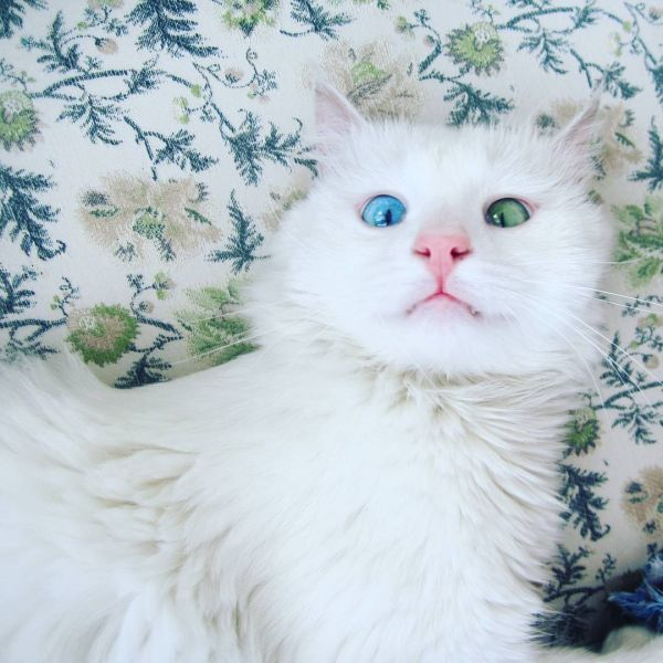 heterochromia-cat-cross-eyed-alos-20