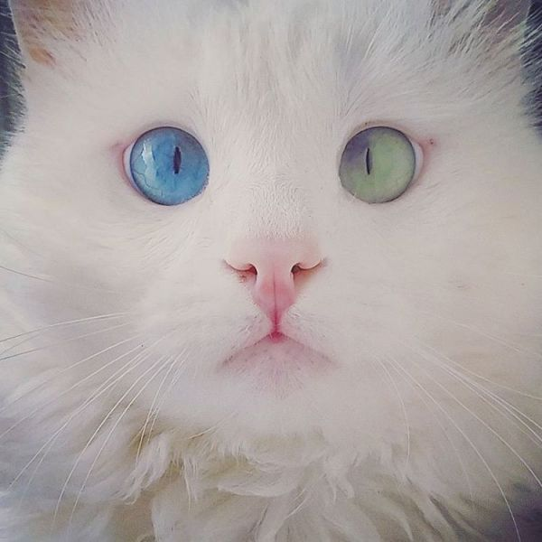 heterochromia-cat-cross-eyed-alos-17