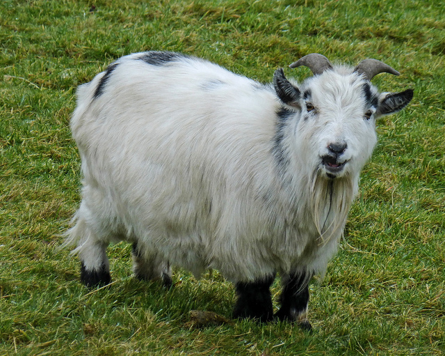 Certain goats can be purchased with Bitcoin